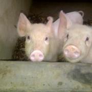 pig fattening