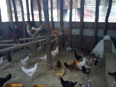 KCM - Omari Mtumbi Chickens