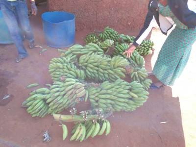 SODAT Banana Harvest Mukibogoye 2